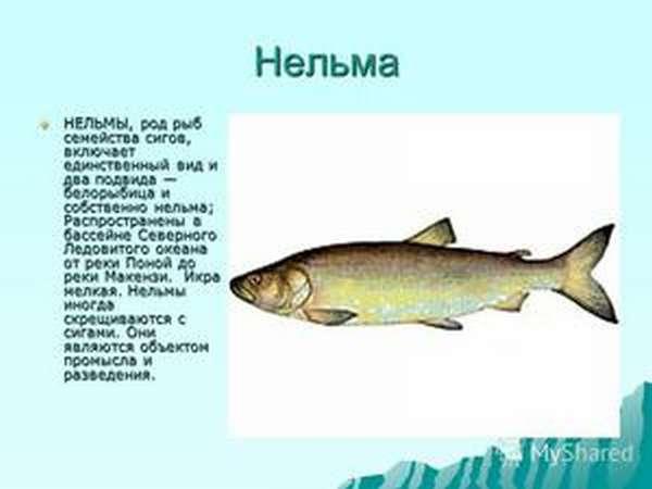 Характерстика рыбы