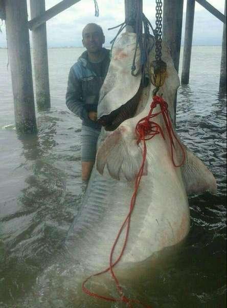 Размеры крупной рыбы белуги