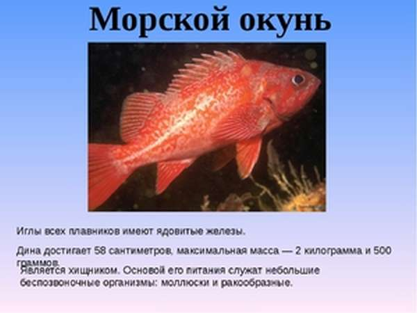 Как готовить морского окуня