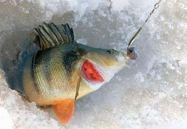 Зимняя ловля на балансир окуня