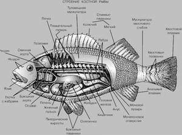 Определение возраста рыбы
