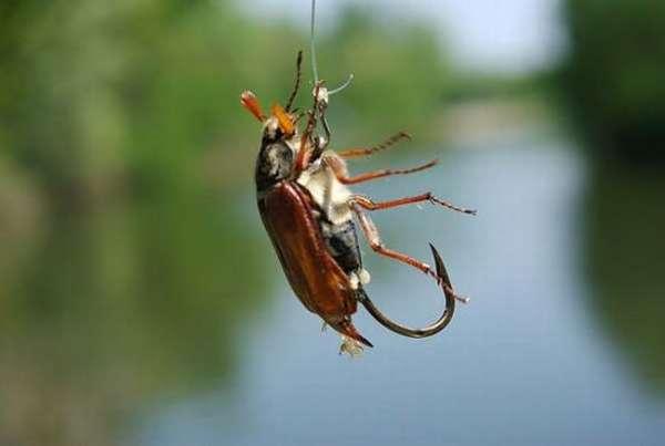 наживление майского жука
