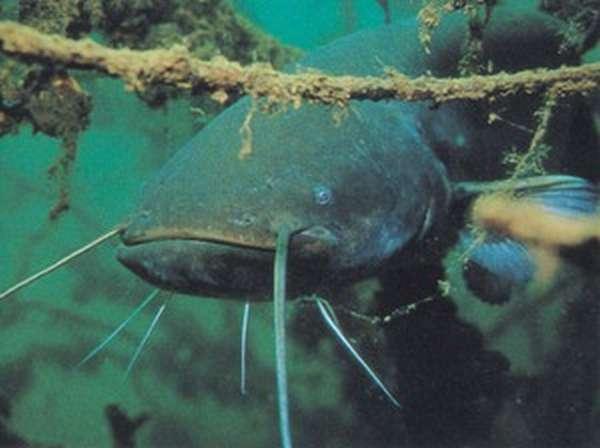Рыба сом как выглядит
