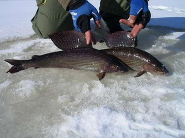 Как ловить хариуса зимой на малых реках