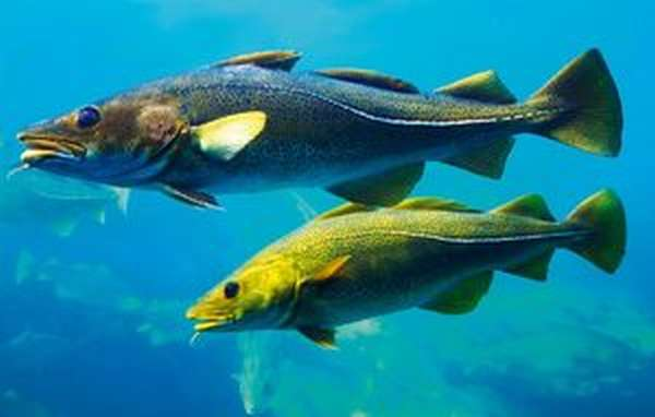 Охота на рыб трескового семейства