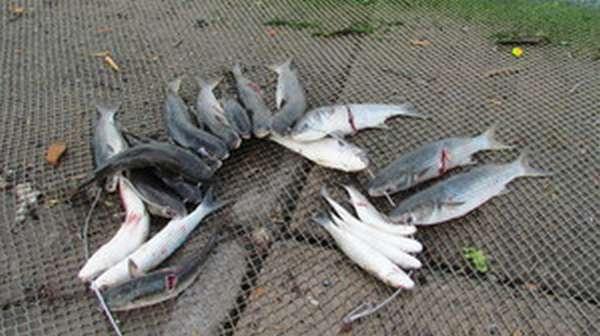 Как ловить рыбу лобань