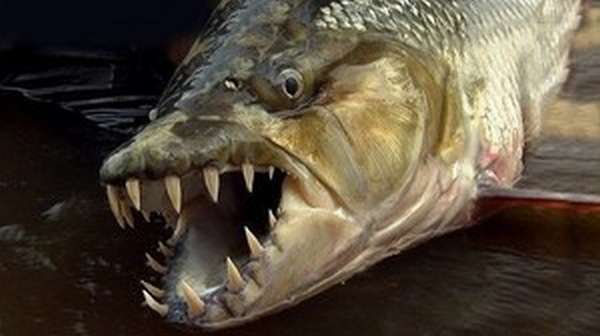 Челюсти рыбы голиаф