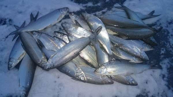 Рыба рипус: описание, ловля
