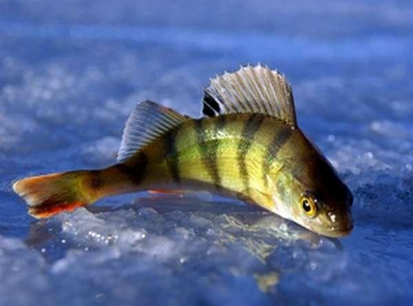 Мелкая рыба россии