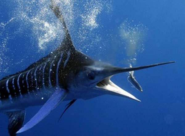 Рыба марлин места обитания