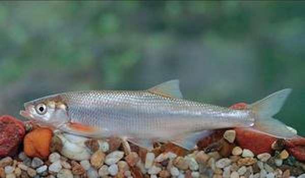 Где обитает рыба шамайка