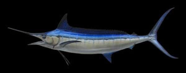 Описание рыбы марлина