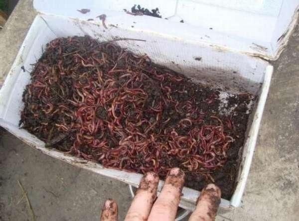 Как сохранить червей для рыбалки в жару