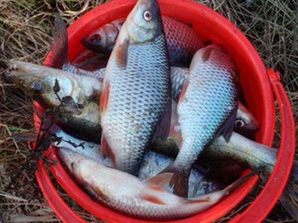 Как отловить рыбу сорогу