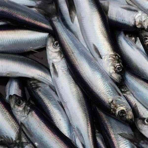 Виды тресковых рыб