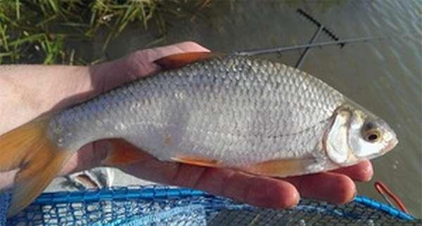 Описание рыбы плотвы