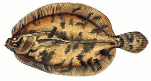 Характеристика плоской рыбы
