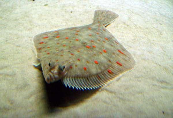 белая рыба плоская
