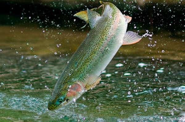 Форель относится к семейству лососевых видов рыб
