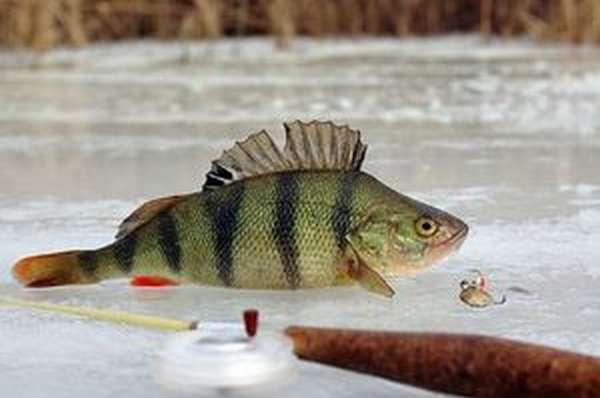 В большинстве случаев, окуня ловят на участках с меньшей глубиной, чем при ловле других хищных рыб