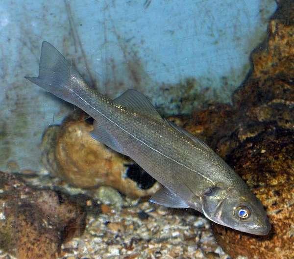 Сибаса рыба