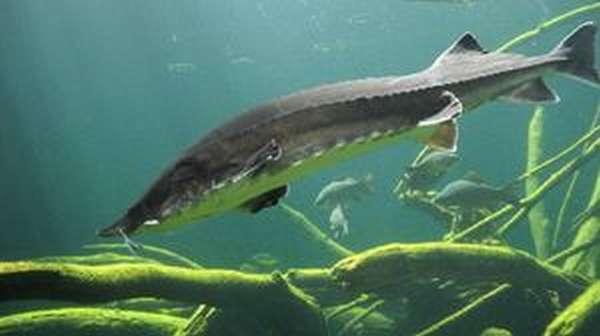Речная рыба россии
