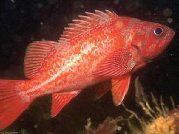 Особенности рыбы