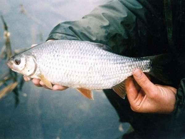 Описание рыбы сороги