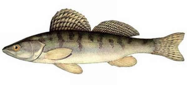 Как ловить рыбу берш