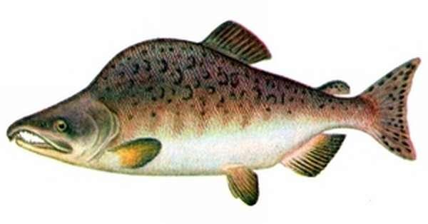 Горбуша. Красная рыба