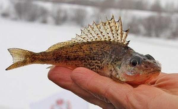 Описание рыбы ерш