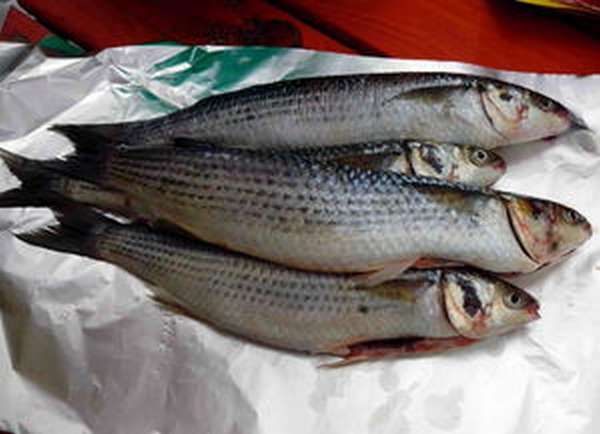 Описание рыбы лобань