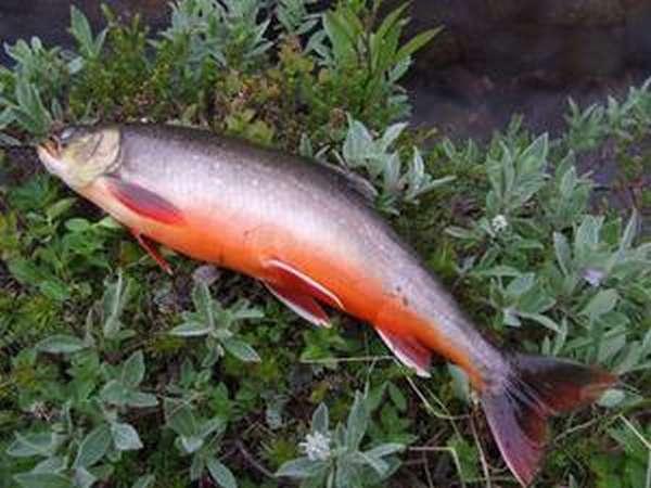 Чем питается рыба Голец