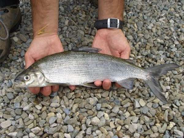 Рыба сиг