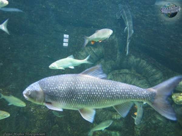 Образ жизни рыбы вырезуб
