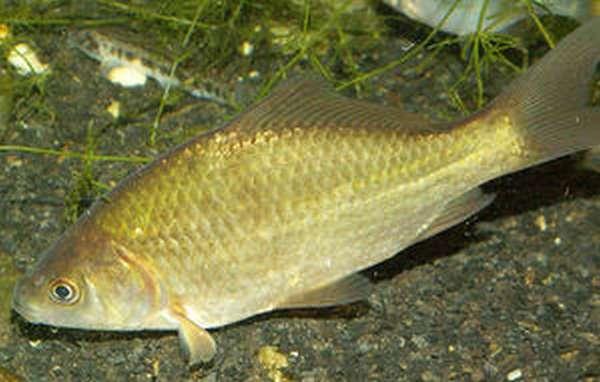 Рыбы хищники