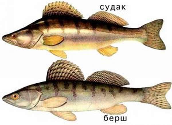 Описание рыбы берш