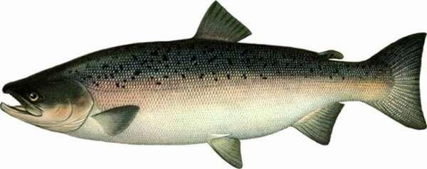 Красная рыба нерка
