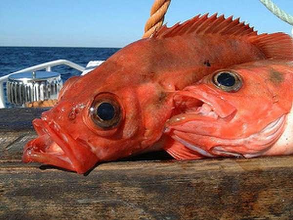 Как приготовить красного морского окуня
