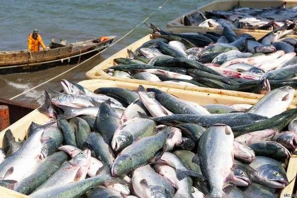 Особенности дальневосточного лосося