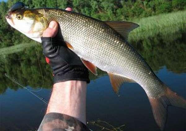 Рыба Жерех: описание
