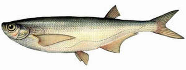 Изображение рыбы Чехонь