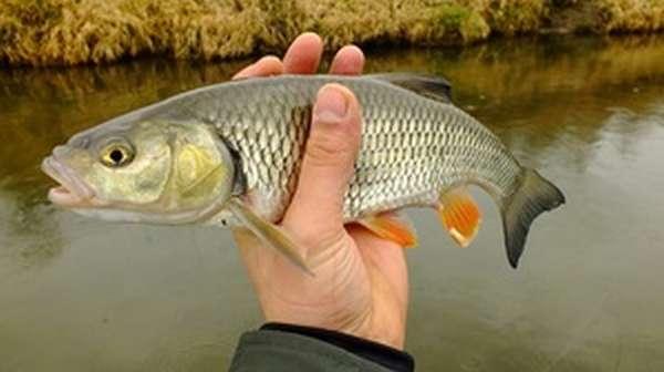 Описание рыбы голавля