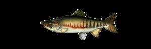 Кета. Красная рыба