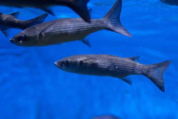 Пищевая ценность рыбы лобань