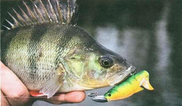 Описание рыбы