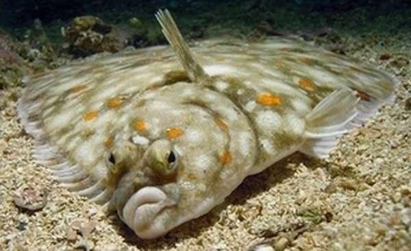 Камбала: морская или речная рыба