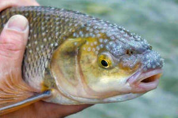 Описание рыбы вырезуб