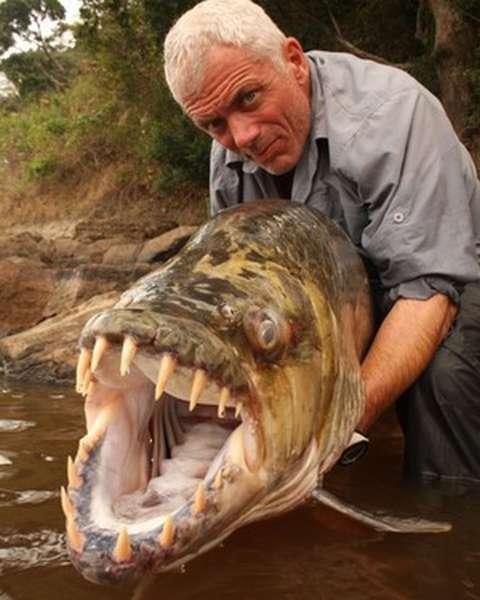 как выглядит тигровая рыба
