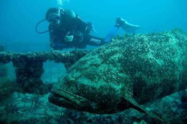 Атлантический гигантский групер